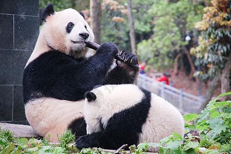 成都大熊猫基地玩耍的熊猫图片