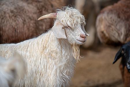 牧民羊圈山羊图片