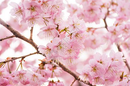 正在盛开的樱花图片