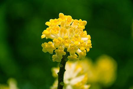 盛开的结香花图片
