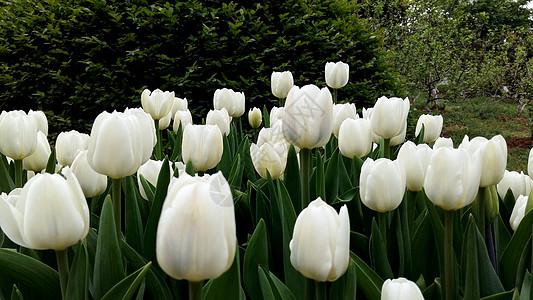 春天花卉郁金香图片
