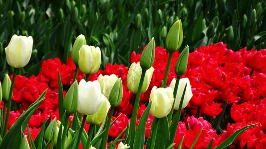 春天花卉郁金香含苞欲放图片
