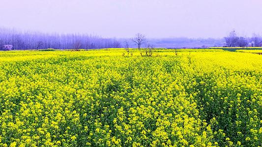春天花卉油菜花盛开图片
