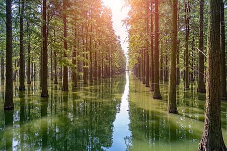 网红打卡地新洲涨渡湖水杉森林图片