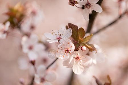 湖北武汉大学樱花图片