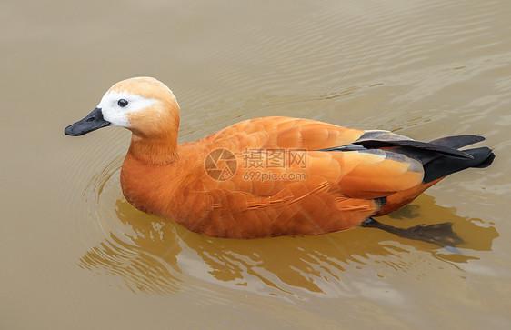 水中赤麻鸭图片
