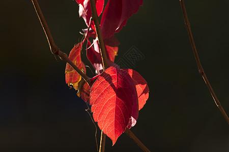 秋色红叶素材设计背景图片