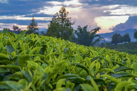 云南普洱茶园 图片