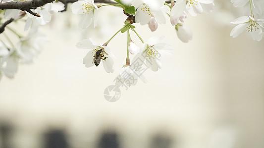 蜜蜂采蜜 图片