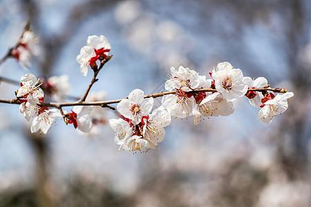 春天盛开的梅花图片