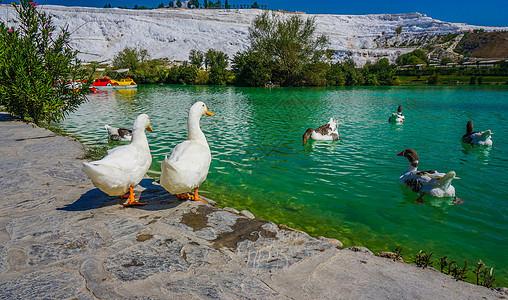 土耳其棉花堡池塘的鸭子图片