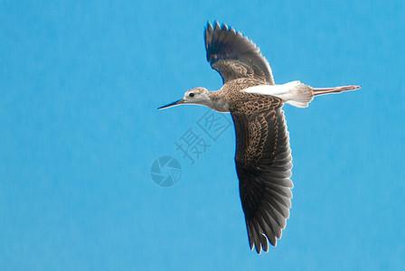 黑翅长腿鹬图片