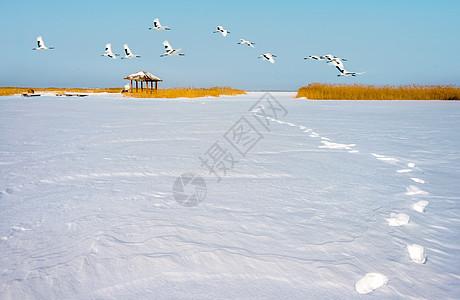 雪地上的丹顶鹤图片