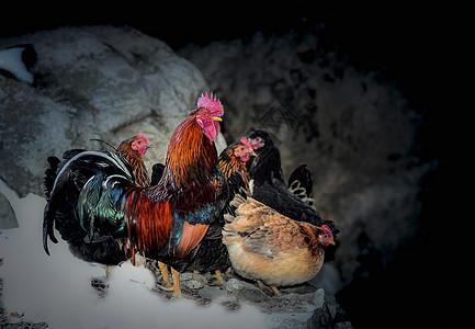 美丽的花公鸡图片