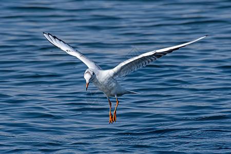 红嘴鸥图片