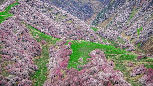 新疆伊犁吐尔根杏花谷图片