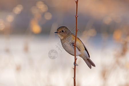 北红尾鸲雌鸟图片