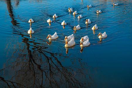 水塘中的鸭子图片