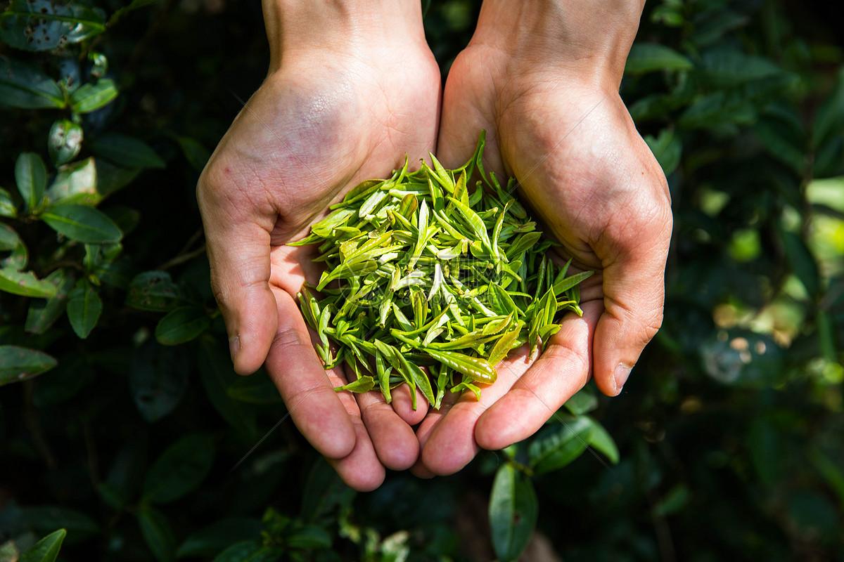 白茶是怎么制作的_白茶知识