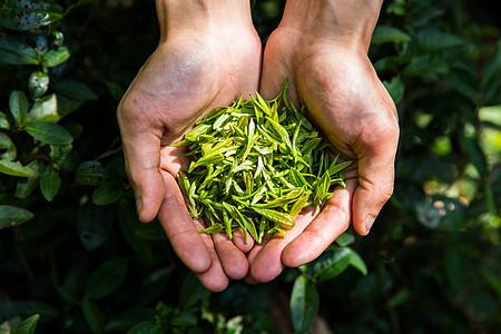 茶农手捧一把茶叶图片