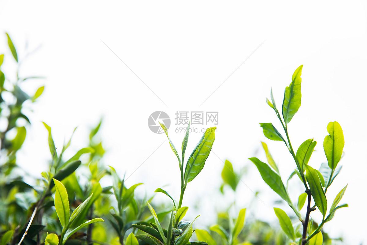 荒野白茶功效_功效和作用