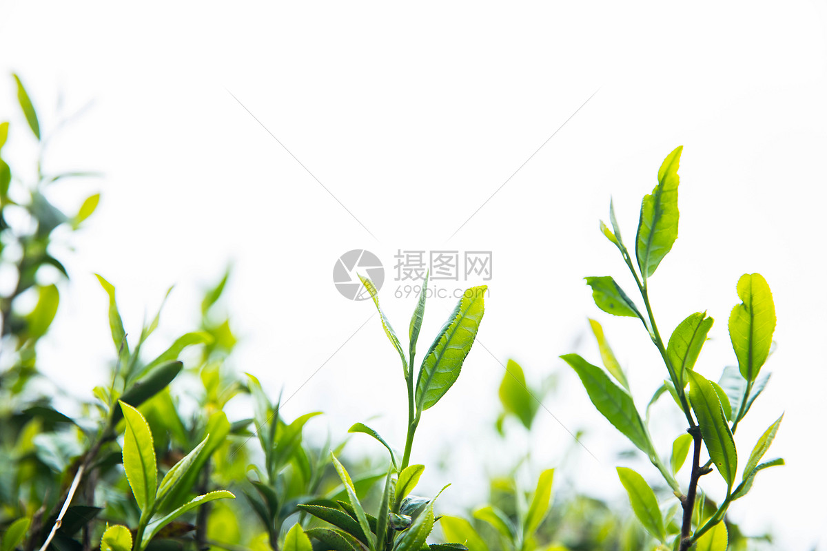 福鼎白茶知名品牌