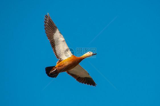 飞行的赤麻鸭图片