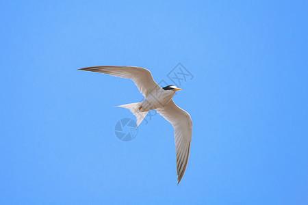 白额燕鸥图片