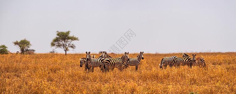 非洲斑马群图片