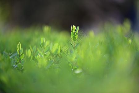 榆树嫩芽图片