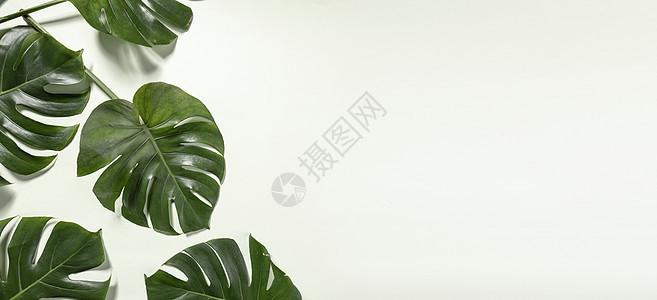龟背叶背景图片