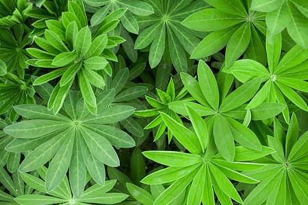 植物羽扇豆图片