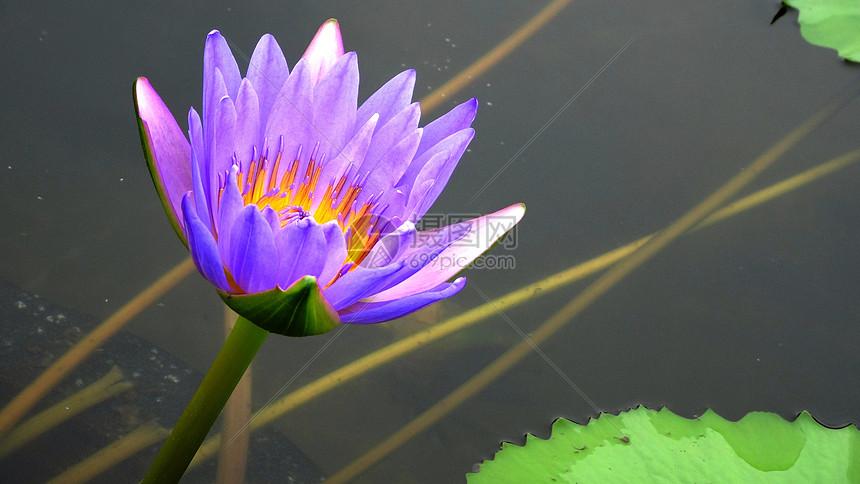 睡莲紫香莲图片