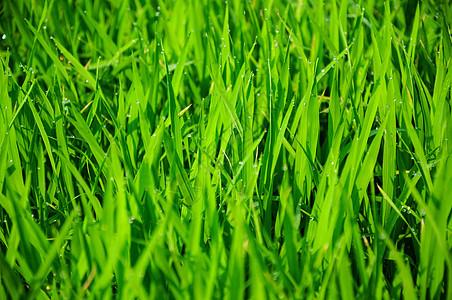 禾苗的露珠图片