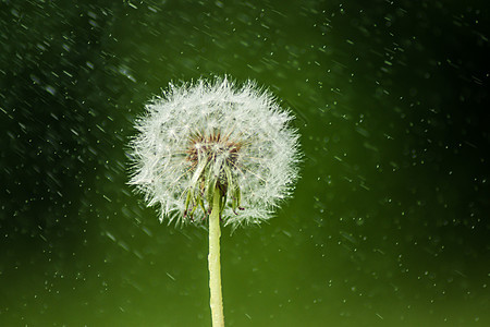 雨中的蒲公英图片