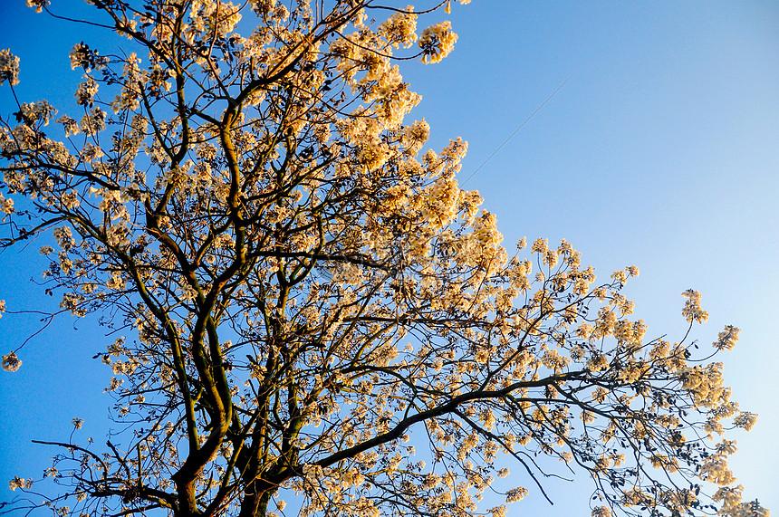 泡桐花树图片