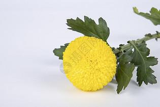 乒乓菊图片