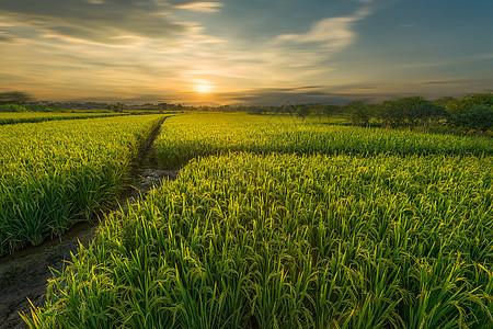 桂林会仙湿地稻田图片