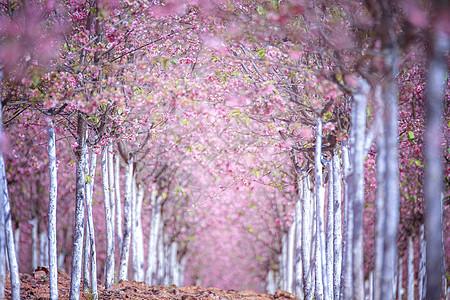 樱花大道图片