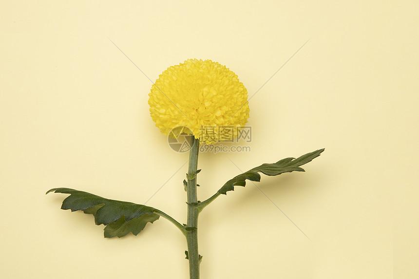 乒乓菊花图片
