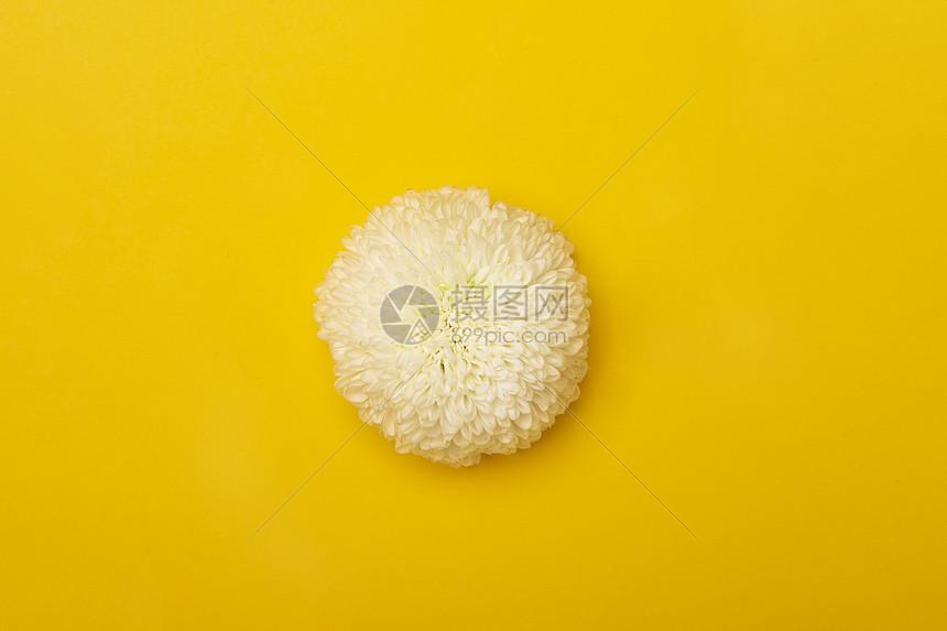 白色乒乓菊图片