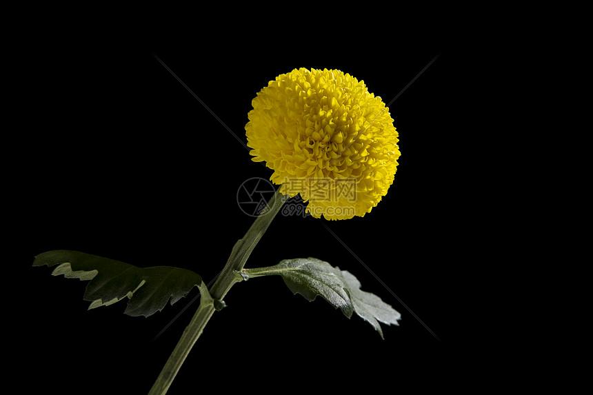黄色乒乓菊图片