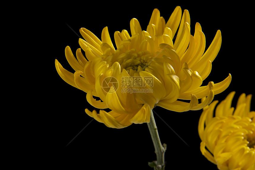 黄色菊花图片