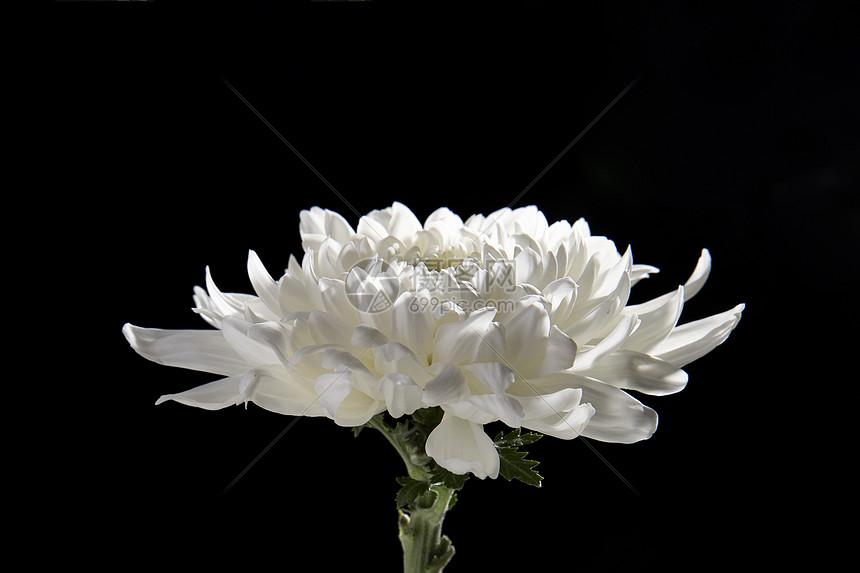 白色菊花图片