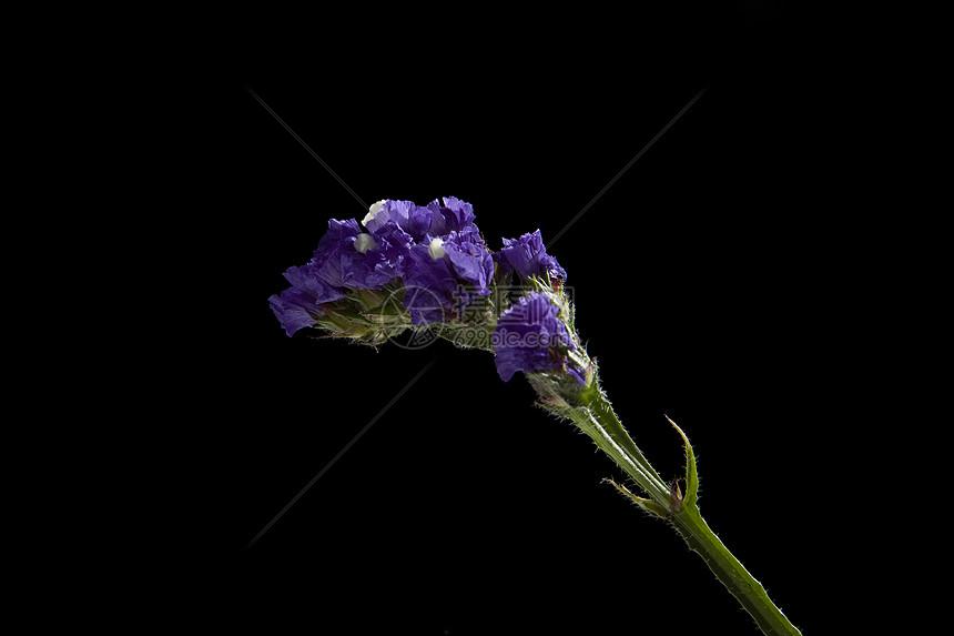 紫色勿忘我图片