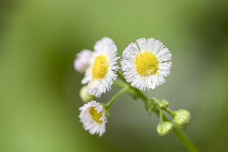 春天的小雏菊图片