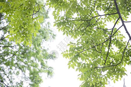 酸枣树图片