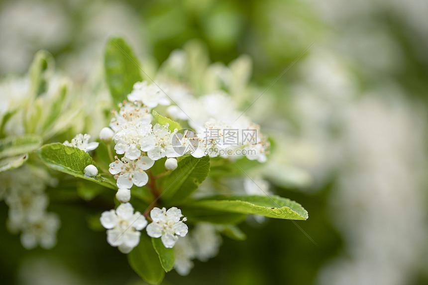春天的小白花图片