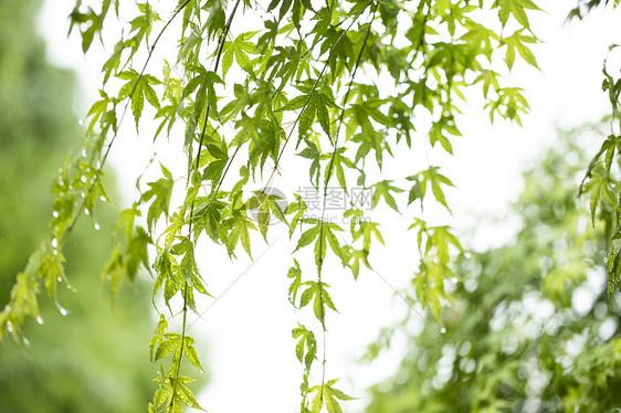 夏至枫叶图片