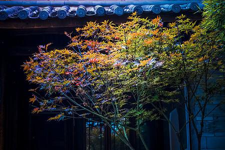 秋天古树枫叶图片